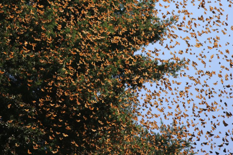 Monarchs at the winter destination in the Sierra Madras of Mexico. Photo from the teacher resource site called http://www.learner.org/