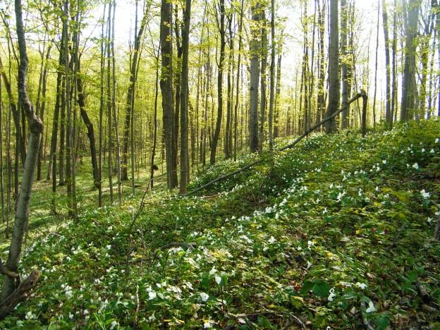 Beautiful, exquisite carpet of white trilliums.