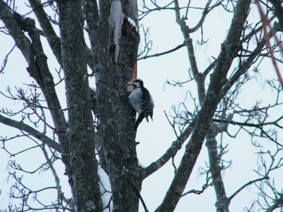An afternoon snack for the Downy Woodpecker! :)