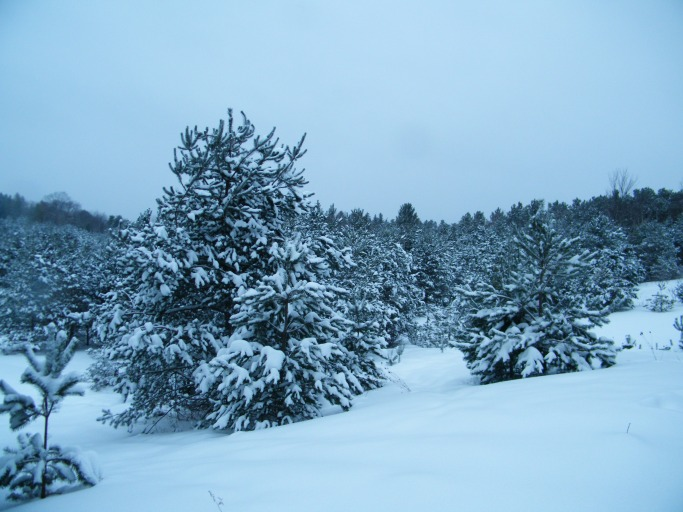 Snow covered pines, self seeded from nearby pine forests.