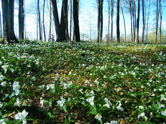 The beauty of the White Trillium in the hardwood forest just outside the village where I live.