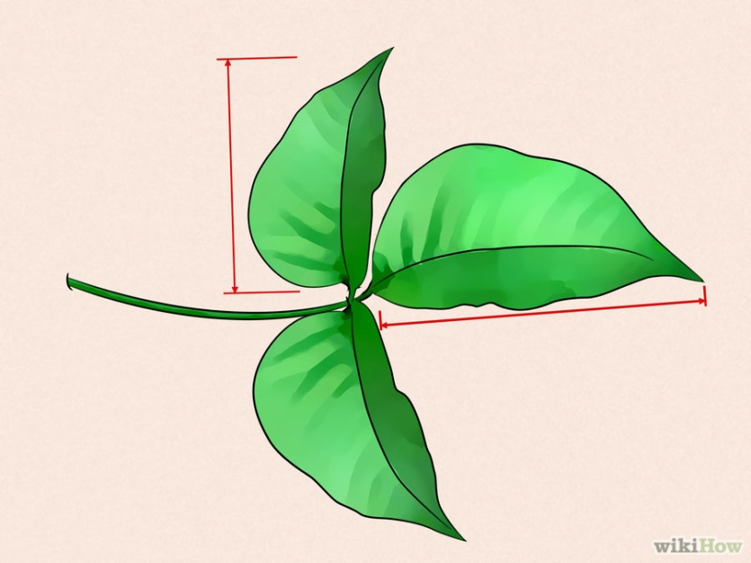 Identifying a cluster of 3 leaves. Image via Wiki How.